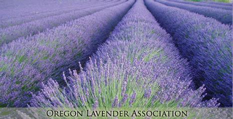 Glossary: Lavender - InsidersHealth.com | Health Glossary | Scoop.it