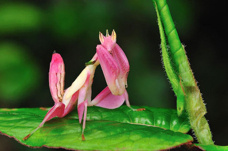 Orchid mantis | Pic | Gear | What Surrounds You | Scoop.it