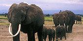 Unforgettable Elephants - Echo's Family Tree - Elephant Society   Nature   PBS   Practice   Scoop.it