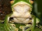 """Fantastic"" New Flying Frog Found—Has Flappy Forearms 