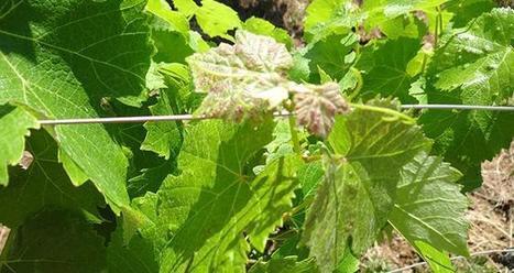 Des capteurs pour observer et préconiser   Vignes et vins   Scoop.it