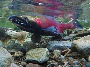 In hot water: Climate change is affecting North American fish | Aquaculture Directory | Scoop.it