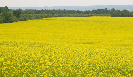 What Corn-Canola Comparisons Tell us about Neonics and Bees - Plenty Actually | Chemistry Regulation | Scoop.it