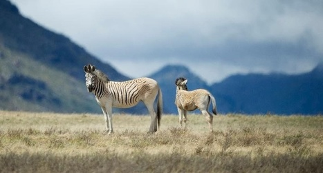 South Africa revives 'extinct' zebra subspecies | GarryRogers Biosphere News | Scoop.it
