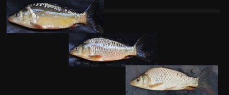 Comment des carpes totalement écaillées sont-elles apparues à Madagascar ? | Biodiversité & Relations Homme - Nature - Environnement : Un Scoop.it du Muséum de Toulouse | Scoop.it