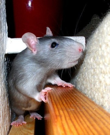 18 of the Cutest Pet Rats You Have Ever Seen   Animal Bliss   Animal Welfare   Scoop.it
