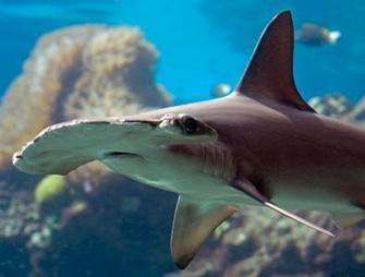 Throwing a Lifeline for 11 Shark and Ray Species   BORNEO SHARKARMA   Scoop.it