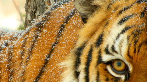 Life Through a Siberian Tiger's Eyes | Filmmaking Naturally | All about nature | Scoop.it
