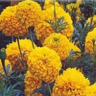 Summer Flower Seeds, Flower seeds online, Seeds company in india | Buy flower seeds online, Flower seeds online, Garden seeds, Flower seeds, Herb seeds | Scoop.it