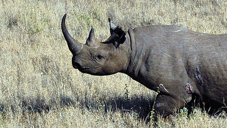 Hunting the Black Rhino: Decimation or Boon for Conservation? | KQED | What's Happening to Africa's Rhino? | Scoop.it