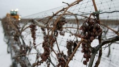 B.C. ice wine producers celebrate deep freeze | Vin 2.0 | Scoop.it