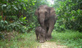 Sumatran elephant upgraded to critically endangered status | Human Beings and Their War With the Earth | Scoop.it