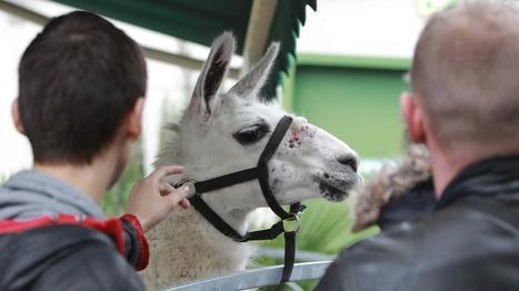 Serge le lama devient une vache à lait - Francetv info | Serge le lama | Scoop.it