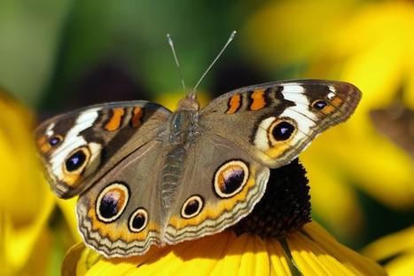 Gardening for Butterflies (Wildlife Outreach Center) | Butterfly Garden PBL | Scoop.it