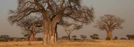 Baobab, l'arbre sacré qui fâche les dieux (Adansonia sp.)   La parole de l'arbre   Scoop.it