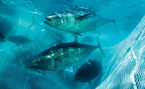 #BluefinTuna ~ Are they in great shape or severely #depleted? | Now is the Time to Help our Oceans & it's Species ! | Scoop.it