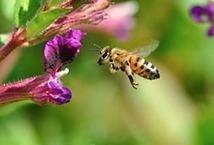 ARS : Research leads to better understanding of bee health | La recherche en apiculture | Scoop.it