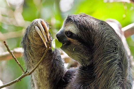 Can shade-grown cocoa help conserve sloths? | Rainforest EXPLORER:  News & Notes | Scoop.it