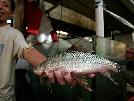 Farm-Raised Tilapia, With A Dash Of Antibiotic : NPR | Aquaculture | Scoop.it