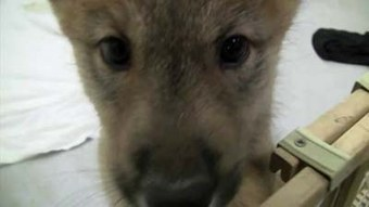 Wildlife Sanctuary visitors get first look at wolf pups in Green Bay ... | news near | Scoop.it
