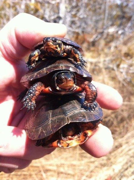 Turtle troubles: undercover officers after poachers andsmugglers | Wildlife Trafficking: Who Does it? Allows it? | Scoop.it