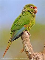 El Oro Parakeet—One Of World's Rarest Parrots—To Benefit From Conservation ... - The Chattanoogan | Parrot Rescue | Scoop.it