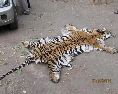 Poaching gang busted; tiger, leopard cat skins seized | Wildlife Trafficking: Who Does it? Allows it? | Scoop.it