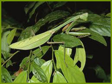 Praying mantids - insect pest control - Biological Control | Insect Pest ... | Natural Pest Control | Scoop.it