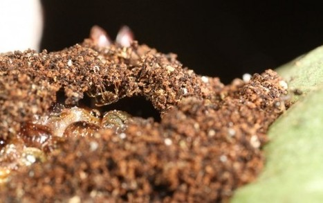 Ants are laying siege to the world's chocolate supply – Ed Yong – Aeon | Erba Volant - Applied Plant Science | Scoop.it