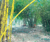Booming bamboo - Deccan Herald | Ecological Organic Yarn | Scoop.it