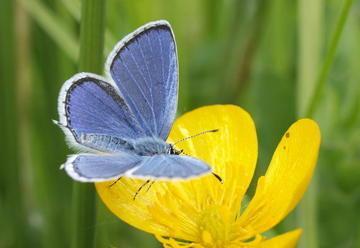 Les papillons des landes bretonnes ne se portent pas très bien | EntomoNews | Scoop.it