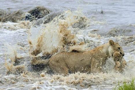 #RRHH #Liderazgo La leona de Masai Mara y el instinto del líder - Blog de @eenbs | Orientar | Scoop.it