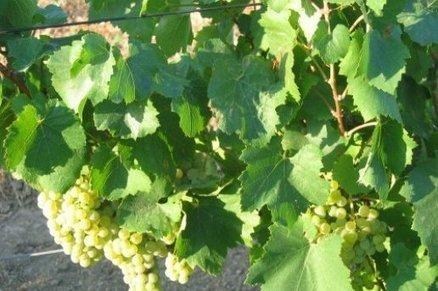 La chaptalisation reste interdite pour les vins du Midi | Autour du vin | Scoop.it