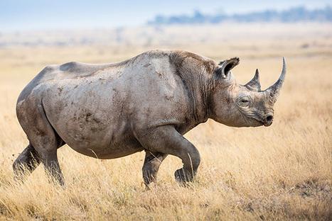 $23 Million for Rhinos: Howard Buffett's Mega Gift to Help Stop Poaching - TakePart | Rhino Conservation | Scoop.it