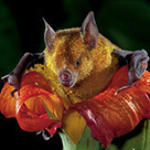 Call of the Bloom: Some tropical flowers reflect sound so nectar-seeking bats can find them more easily | Amazing Science | Scoop.it