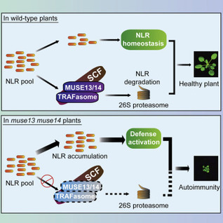 Cell Host Microbe: Plant TRAF Proteins Regulate NLR Immune Receptor Turnover | Plant pathology | Scoop.it