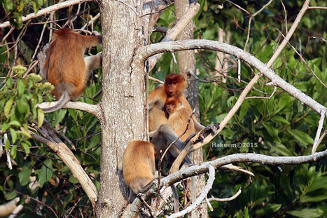 Photo 192   BEKANTAN -WILD INDONESIA   Bekantan - Wild Indonesia   Scoop.it