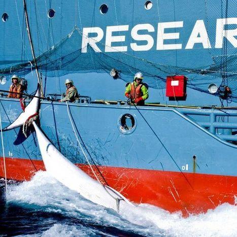 'They haven't changed anything': Scientists slam Japan's renewed whaling program | Des infos sur notre planète : ecologie , biodiversité | Scoop.it