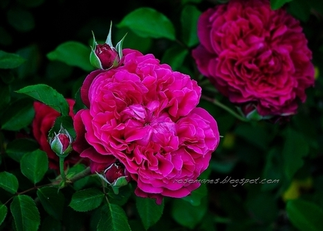 A Rose is a Rose... | Rose gardening for everyone | Scoop.it