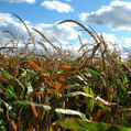 Scientists torn over Kenya's recent GM food ban - SciDev.Net (2012) | Ag Biotech News | Scoop.it