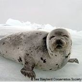 Canadian Seal Slaughter | Nature Animals humankind | Scoop.it