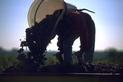 Maturation précoce du raisin : quelles origines ? | Découvrir l'univers du vin | Scoop.it