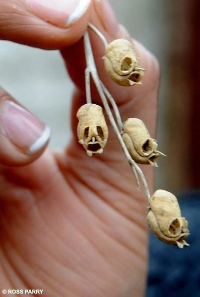 Spooky shrunken heads buried in the garden? No, they're just seed pods, says expert | Science Geek | Scoop.it