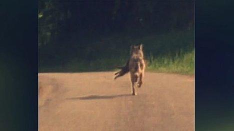 La présence d'un loup confirmée dans le Jura - France 3 Franche-Comté | Mes passions natures | Scoop.it