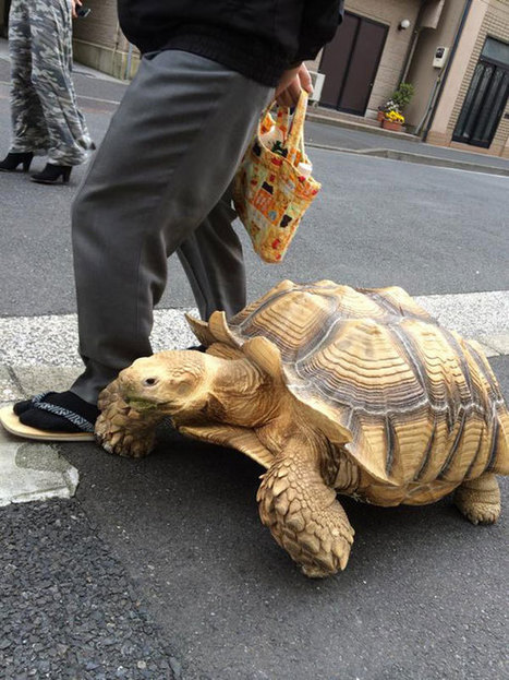 World's Most Patient Pet Owner Walks His Giant Tortoise Through Streets Of Tokyo | enjoy yourself | Scoop.it