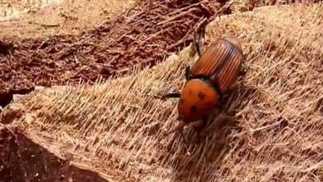 Argelès, la disparition probable des palmiers | EntomoNews | Scoop.it