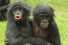 Young Apes Develop Empathy Like Human Kids | Empathy and Animals | Scoop.it