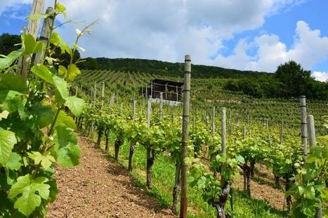 Intempéries.  La production de vin française devrait baisser de 8% en 2016 | Le vin quotidien | Scoop.it