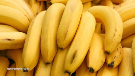 GMO bananas are coming to a supermarket near you, thanks to Bill Gates | Questions de développement ... | Scoop.it