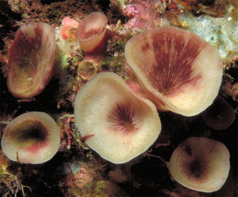 New Species of Reef Coral Discovered | scubadiving | Scoop.it